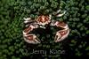 Anemone Crab (Neopetrolisthes oshimai) - Milne Bay, Papua New Guinea