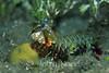 Mantis Shrimp (Odontodactylus scyllarus) - Milne Bay, Papua New Guinea