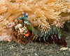 Mantis Shrimp (Odontodactylius scyllarus)  - Lembeh Strait, Indonesia