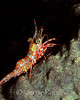 Reticulated Hinge Beak Shrimp (Cinetorhynchus reticulatus) - Milne Bay, Papua New Guinea