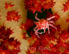 Soft Coral Crab (Hoplophrys oatesii) - Lembeh Strait, Indonesia