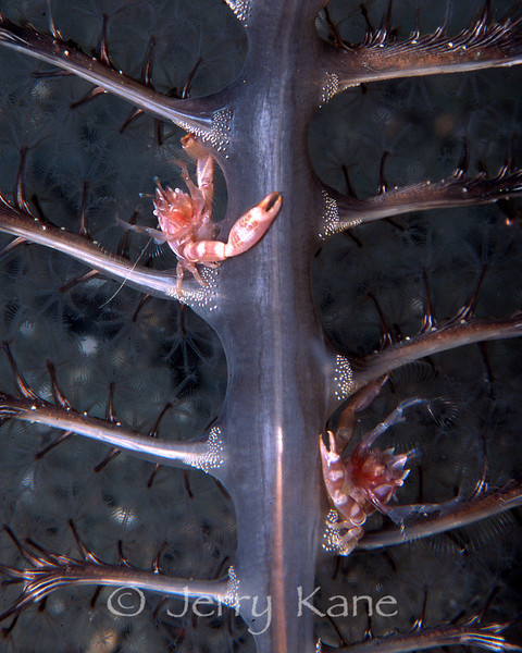 Porcelain Crabs (Porcellanella triloba) on a sea pen - Milne Bay, Papua New Guinea