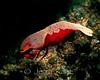 Imperial Shrimp (Periclimenes imperator) - Milne Bay, Papua New Guinea