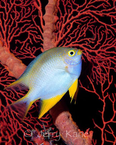 Golden Sergeant (Amblyglyphidodon aureus) - Wakatobi, Onemobaa Island, Indonesia
