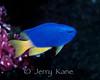 Blue Damselfish (Pomacentrus coelestis) - Lembeh Strait, Indonesia