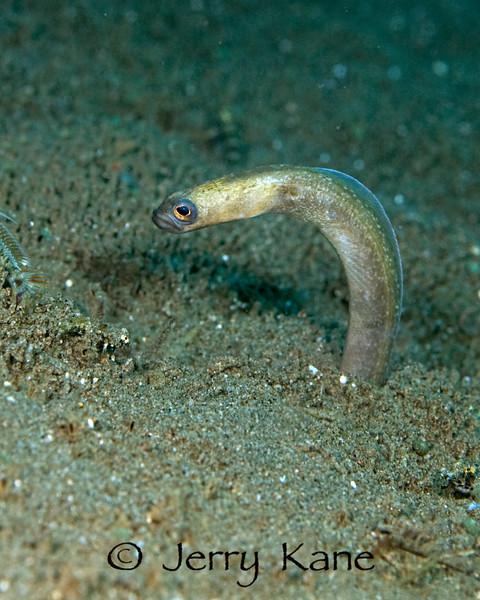 Black Garden Eel (Heteroconger hassi) - Dumaguete, Philippines