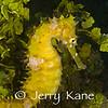 Thorny Seahorse (Hippocampus hixtrix) - Dumaguete, Philippines