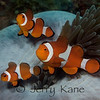 Clown Anemonefish (Amphiprion ocellaris) - Dumaguete, Philippines