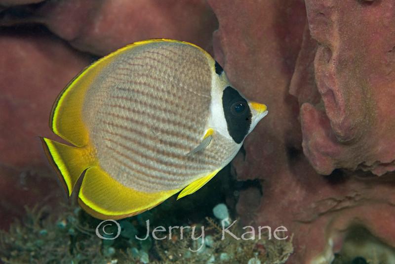 Eye-patch Butterflyfish (Chaetodon adiergastos) - Dumaguete, Philippines