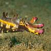 Flamboyant Cuttlefish (Metasepia pfefferi) - Dumaguete, Philippines