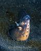 Highfin Snake Eel & Shrimp (Ophichthus altipennis) - Lembeh Strait, Indonesia