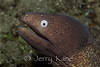 White-eyed Moray Eel (Siderea thyrsoidea) - Milne Bay, Papua New Guinea