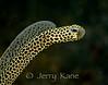 Taylor's Garden Eel  (Heteroconger taylori) - Lembeh Strait, Indonesia