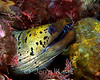 Spot Faced Moray (Oymnothorax fimbriatus) - Milne Bay, Papua New Guinea