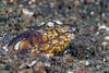 Napoleon Snake Eel (Ophichthus bonaparti) - Lembeh Strait, Indonesia