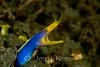 Blue Ribbon Eel (Rhinomuraena quaesita) - Lembeh Strait, Indonesia