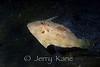 Pig Faced Filefish (Paramonacanthus choirocephalus) - Lembeh Strait, Indonesia