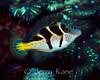 Mimic Filefish (Paraluteres prionurus) - Milne Bay, Papua New Guinea
