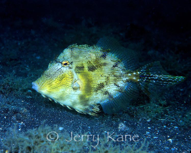 Bristletail Filefish (Acreichthys tomentosus) - Lembeh Strait, Indonesia