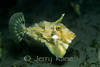 Strapweed Filefish (Pseudomonacanthus macrurus) - Milne Bay, Papua New Guinea