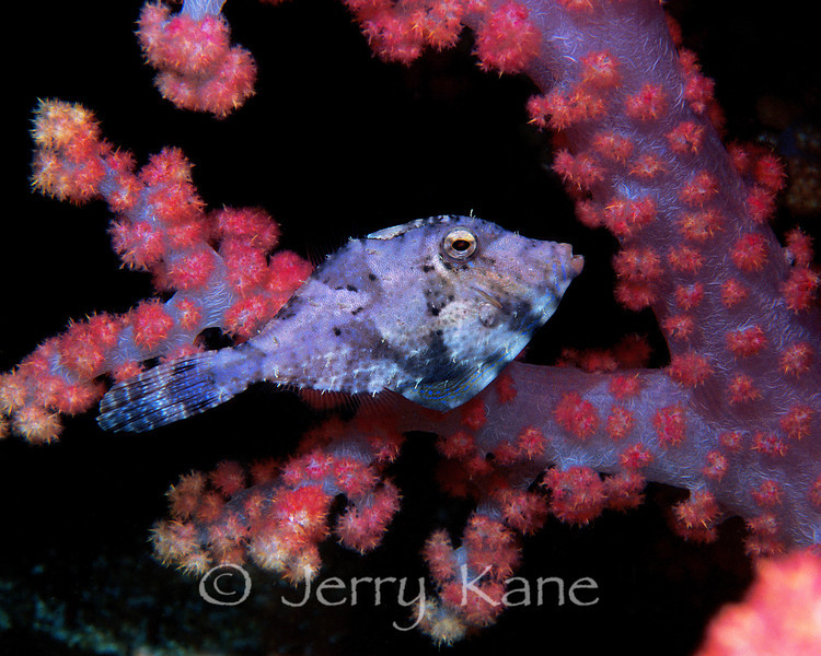 Strapweed Filefish (Pseudomonacanthus macrurus) - Lembeh Strait, Indonesia