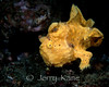 Painted Frogfish (Antennarius pictus) - Lembeh Strait, Indonesia