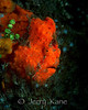 Frogfish - Lembeh Strait, Indonesia