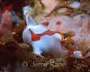 Clown Frogfish (Antennarius maculatus) - Lembeh Strait, Indonesia