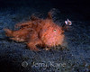 Hairy Frogfish (Antennarius striatus) - Lembeh Strait, Indonesia