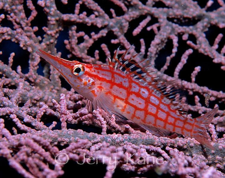 Longnose Hawkfish (Oxycirrhites typus) - Manado, Indonesia