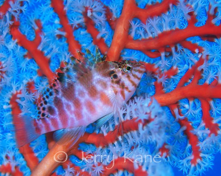 Blotched Hawkfish (Cirrhitichthys aprinus) - Manado, Indonesia
