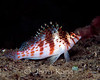 Coral Hawkfish (Cirrhitichthys falco) - Milne Bay, Papua New Guinea
