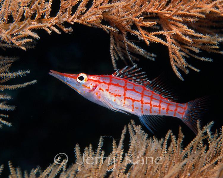 Longnose Hawkfish (Oxycirrhites typus) - Wakatobi, Onemobaa Island, Indonesia