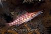 Longnose Hawkfish (Oxycirrihites typus) - Wakatobi, Onemobaa Island, Indonesia
