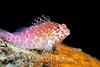Spotted Hawkfish (Cirrhitichthys oxycephalus) - Solomon Islands