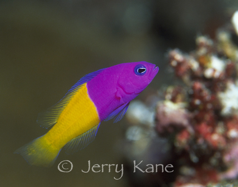 Two-color Dottyback (Pseudochromis paccagnellae) - Wakatobi, Onemobaa Island, Indonesia