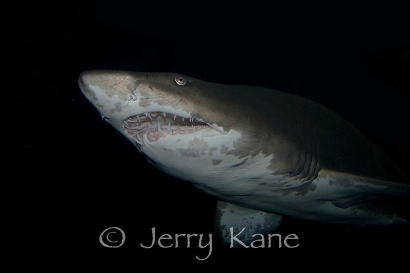 Sand Tiger Shark (Carcharias taurus) - Aquarium Photo, Singapore