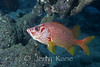 Saber Squirrelfish (Sargocentron spiniferum) - Milne Bay, Papua New Guinea