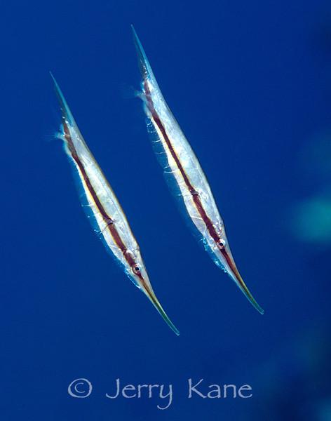 Shrimpfish (Aeoliscus strigatus) - Milne Bay, Papua New Guinea