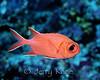 Whitetip Soldierfish (Myripristis vittata)  - Batangas, Philippines