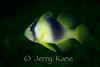 Barred Soapfish (Diploprion bifasciatum) - Lembeh Strait, Indonesia