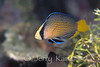 Splendid Dottyback (Pseudochromis splendens) - Wakatobi, Onemobaa Island, Indonesia