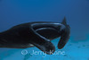 Manta Ray (Manta birostris) - Milne Bay, Papua New Guinea;
