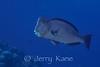 Humphead Parrotfish (Bolbometopon muricatum) - Wakatobi, Onemobaa Island, Indonesia