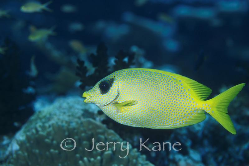 Eyelash Rabbitfish (Siganus puelloides) - Milne Bay, Papua New Guinea