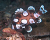 Clown Sweetlips, juv. (Plectorhynchus chaetodonoides) - Lembeh Strait, Indonesia