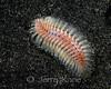 Bristle Worm (Chloeia Flava) - Lembeh Strait, Indonesia