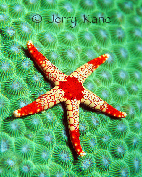Sea Star (Fromia monilis) on green star coral (Montastraea cavernosa) - Anilao, Philippines