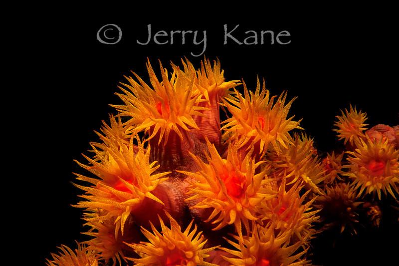 Orange Cup Corals (Tubastraea faulkneri) - Lembeh Strait, Indonesia