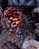 Tiger Cowrie (Cypraea tigris) - Milne Bay, Papua New Guinea
